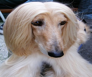 Afghan Hound Dog Facts