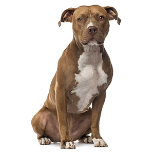 American Staffordshire Terrier Dog Facts