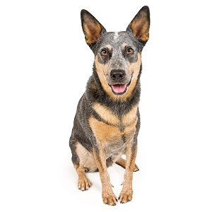Australian Cattle Dog Facts