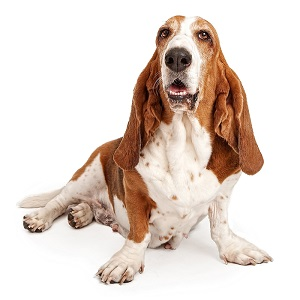 Basset Hound Dog Facts