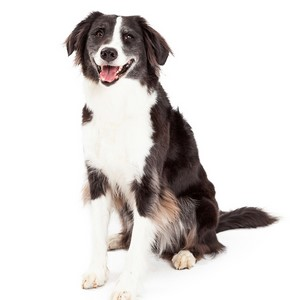 Border Collies Good For Apartments