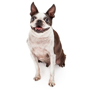 Boston Terrier Dog Facts