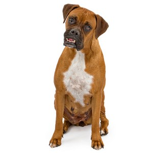 Boxer Dogs Health Problems