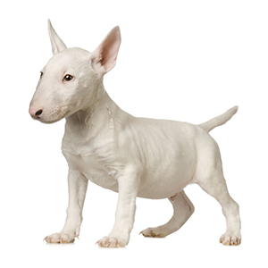 Bull Terrier Dog Facts