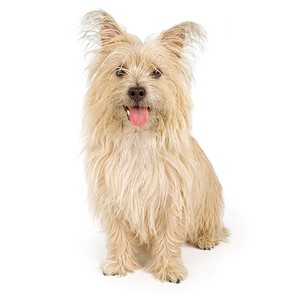 Cairn Terrier Dog Facts