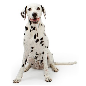 Dalmatian Puppy Price and Dalmatian Dog Litter Size
