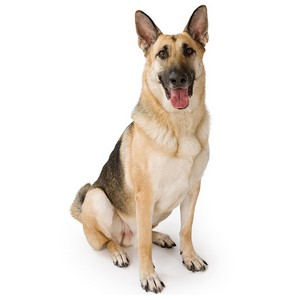 German Shepherds Intelligence