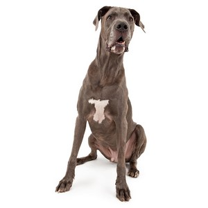 Do Great Dane Dogs Need to Be Groomed Regularly?