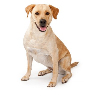 Popular Labrador Retriever Names