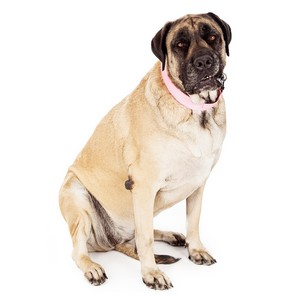Do Mastiff Dogs Need to Be Groomed Regularly?