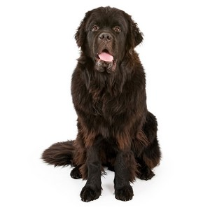 Newfoundlands Intelligence