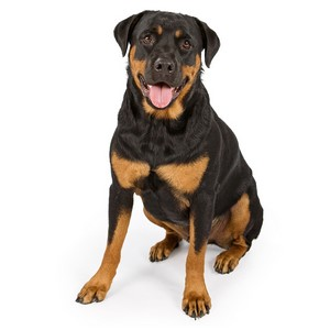 Rottweiler Dogs Health Problems