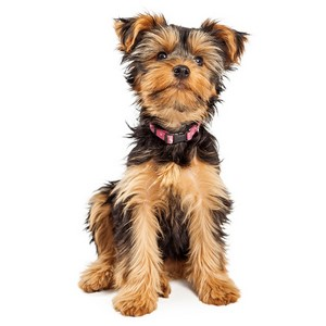 Yorkshire Terrier Dog Facts